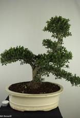 Bonsai Japanese Holly, Ilex crenata, no. 7742