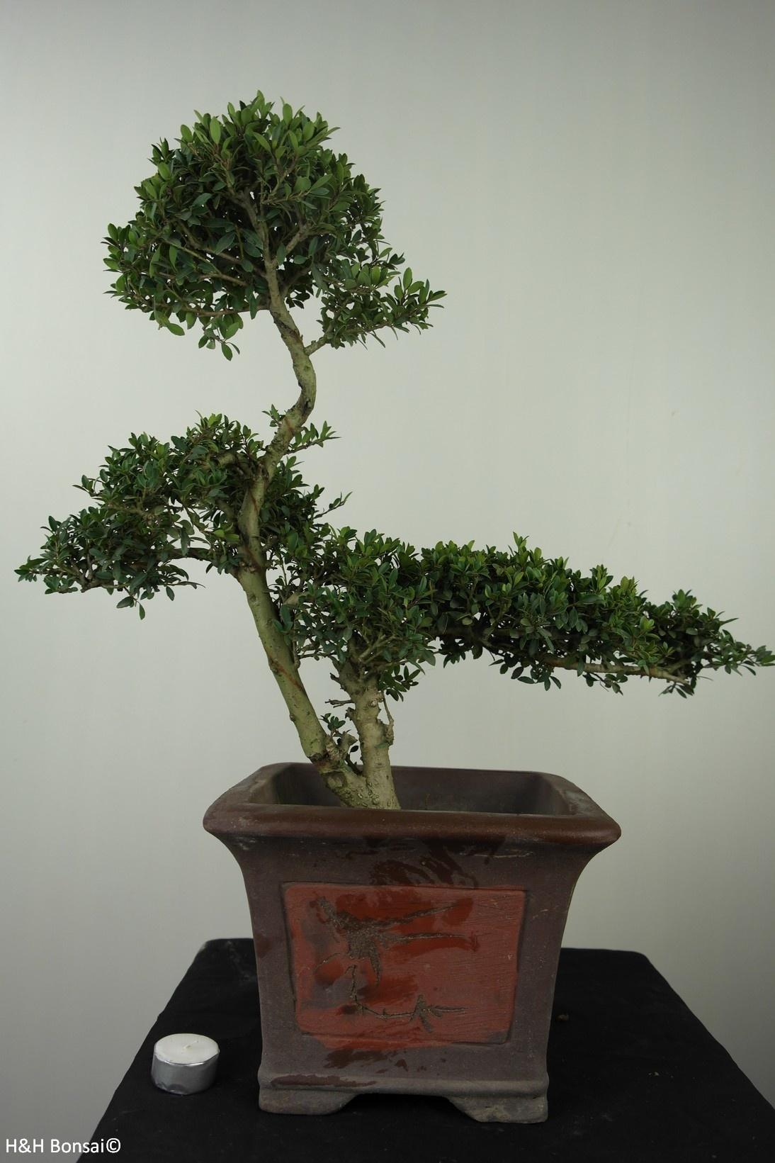 Bonsai Japanese Holly, Ilex crenata, no. 7746