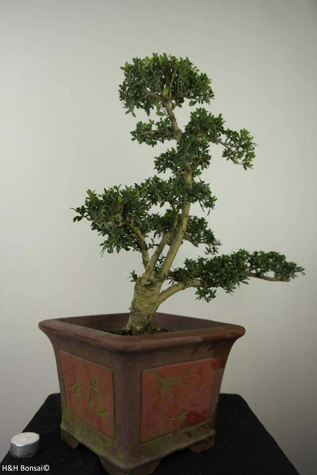 Bonsai Japanese Holly, Ilex crenata, no. 7747