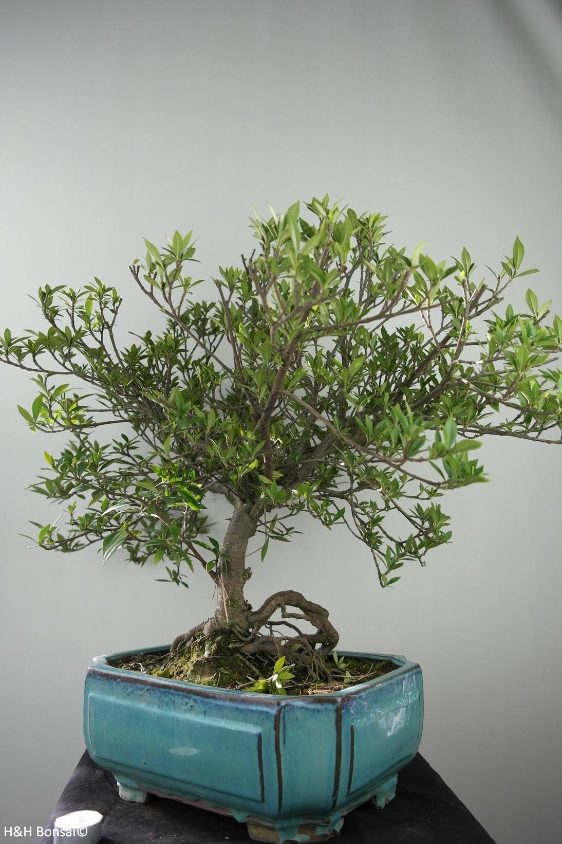Bonsai Gardenia jasminoides, no. 7751