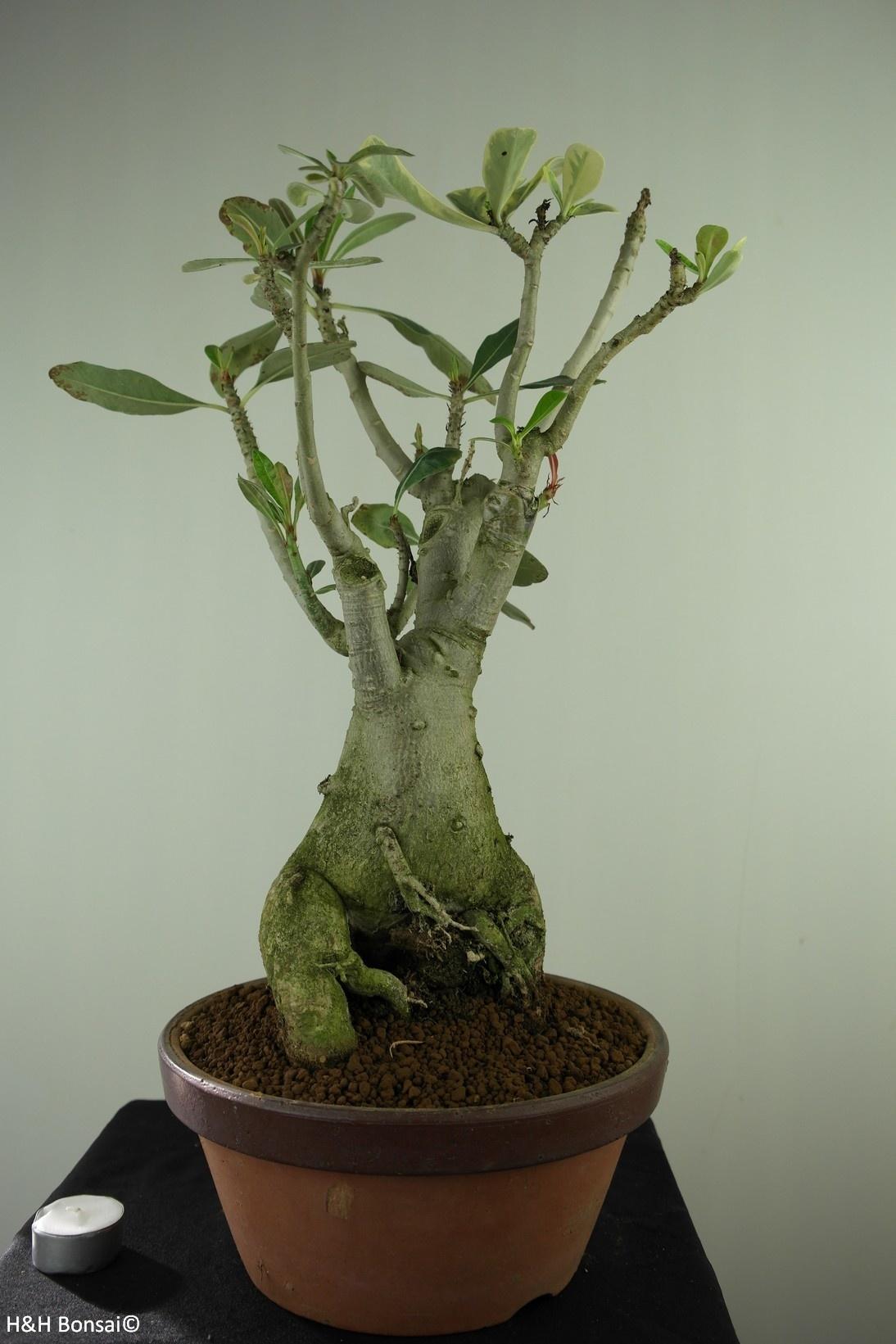 Adenium obesum,variegata, no. 7759