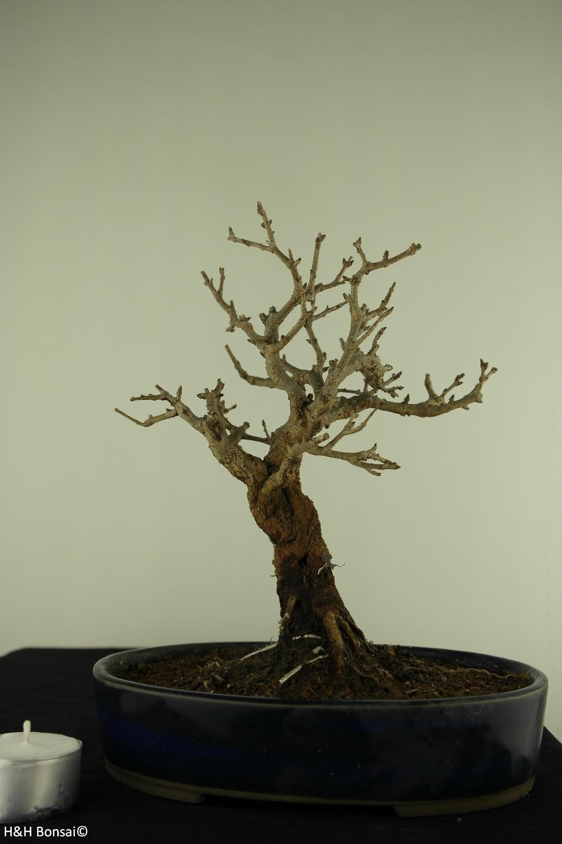 Bonsai Shohin Melograno, Punica granatum, no. 7770