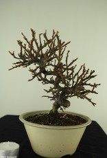 Bonsai Shohin Cotoneaster, no. 7771
