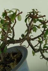 Bonsai Shohin Cotognastro, Cotoneaster, no. 7777