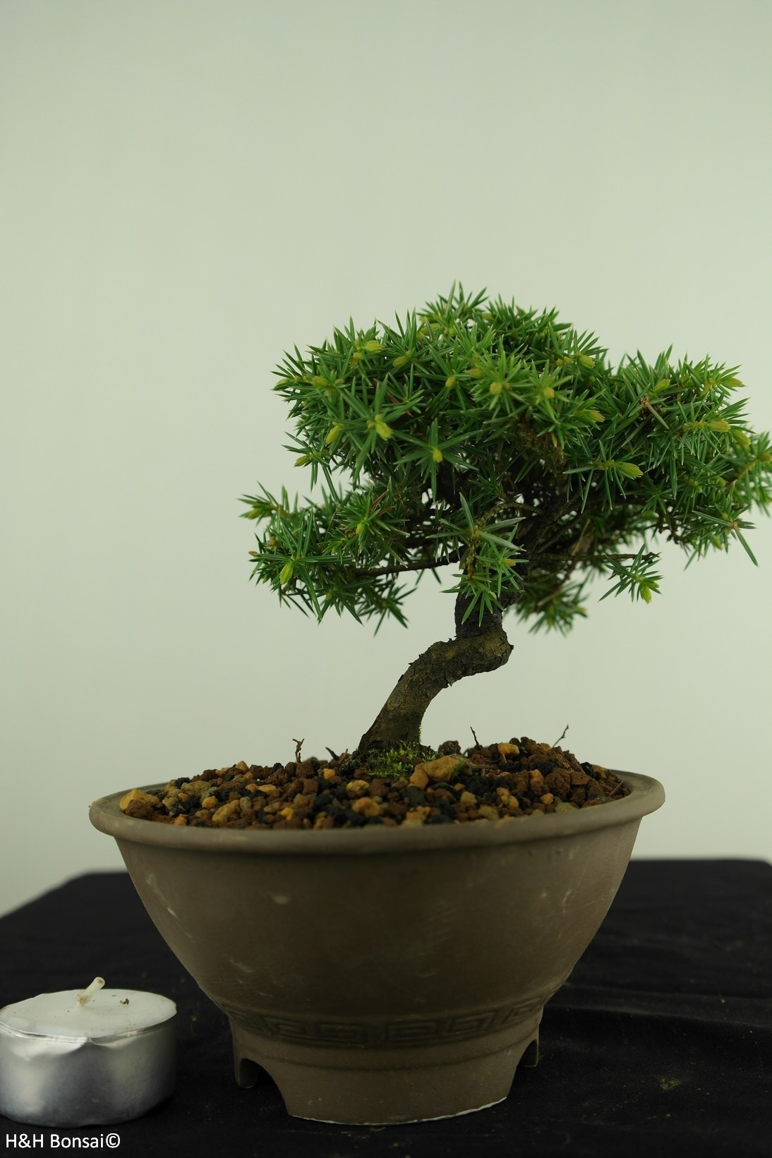Bonsai Shohin Ginepro regida, Juniperus regida, no. 7787