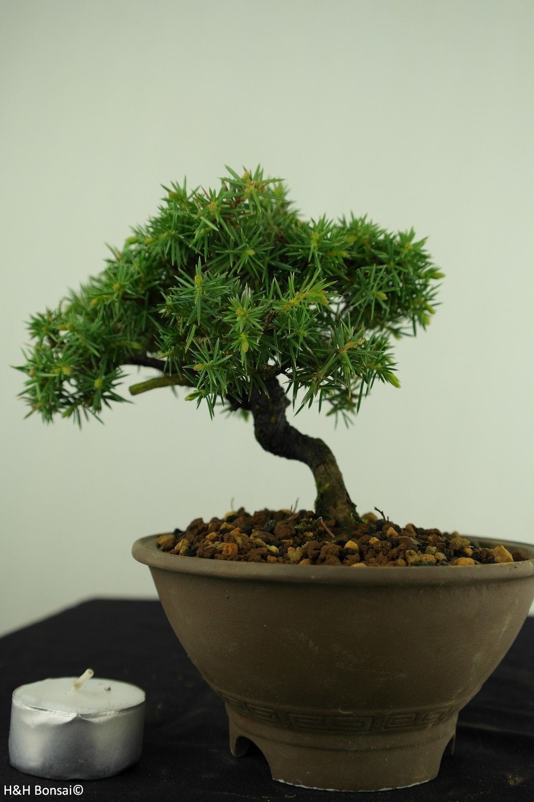 Bonsai Shohin Needle Juniper, Juniperus regida, no. 7787