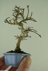 Bonsai Shohin Crape Myrtle, Lagerstroemia, no. 7788
