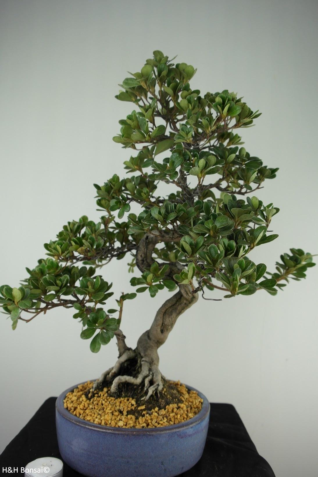 Bonsai Azalea Satsuki Kunpu, no. 7800