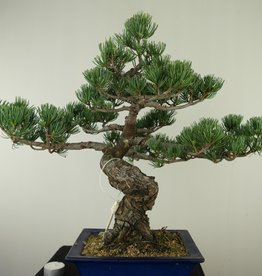 Bonsai Japanese White Pine, Pinus pentaphylla, no. 7803