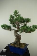 Bonsai Pino bianco, Pinus pentaphylla, no. 7803