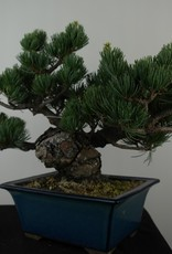 Bonsai Pino bianco, Pinus pentaphylla, no. 7804