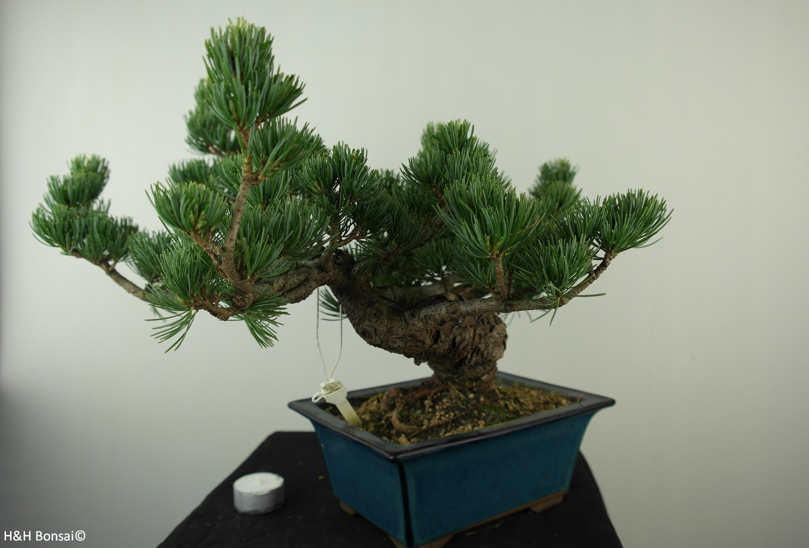 Bonsai Japanese White Pine, Pinus pentaphylla, no. 7807