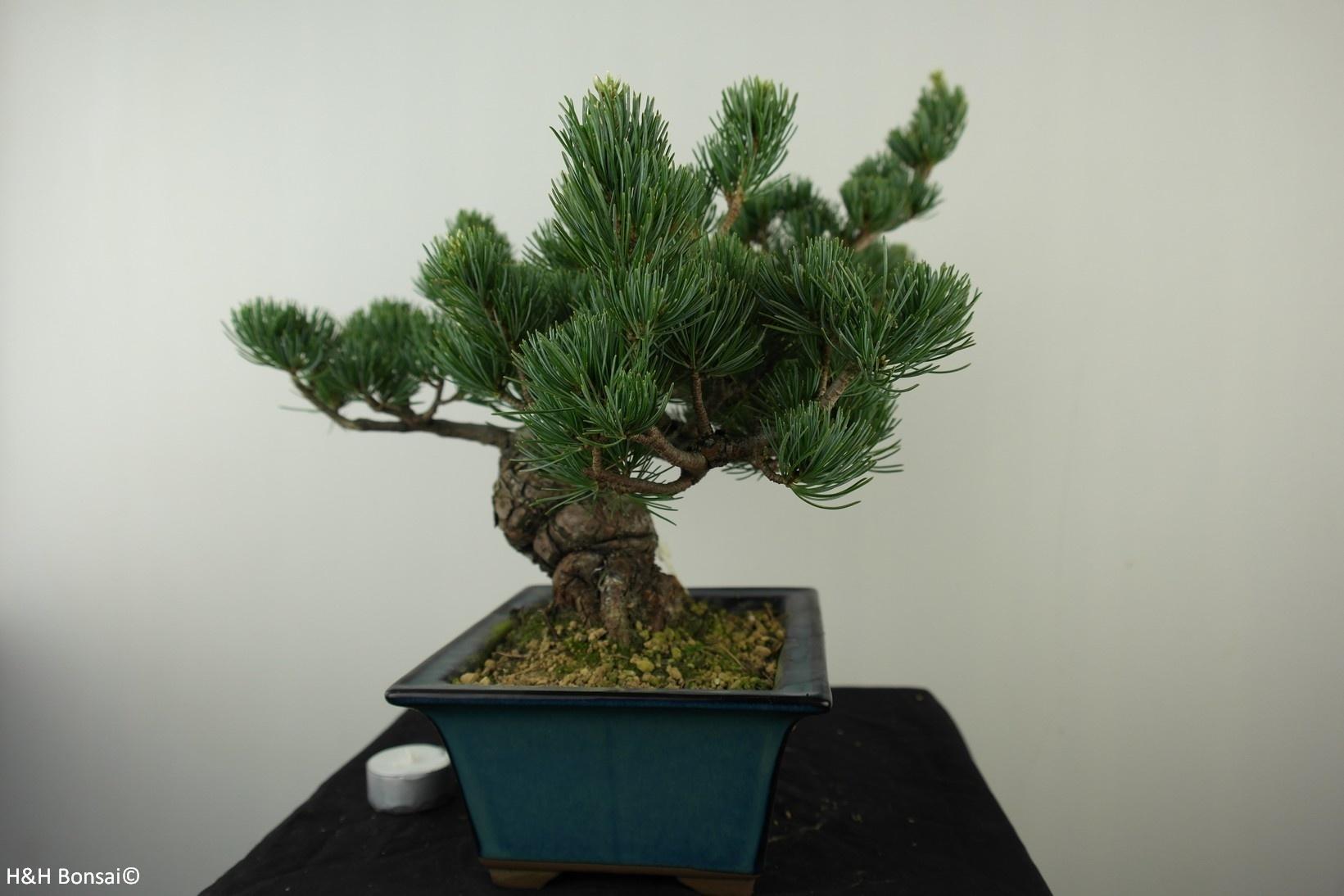 Bonsai Pino bianco, Pinus pentaphylla, no. 7807