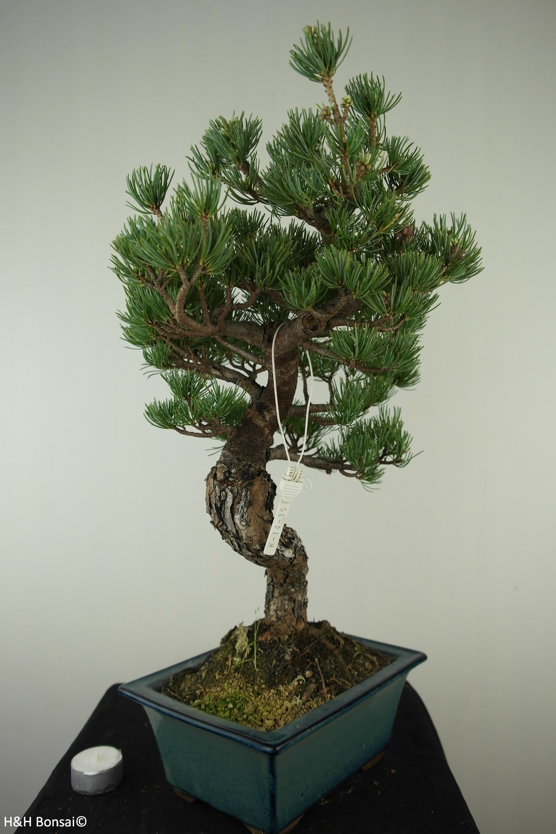 Bonsai Japanese White Pine, Pinus pentaphylla, no. 7809