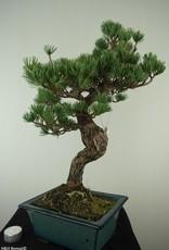Bonsai Pino bianco, Pinus pentaphylla, no. 7809