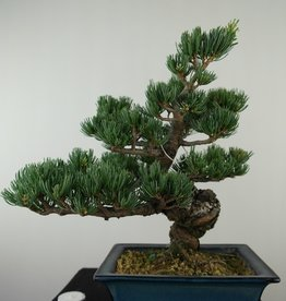 Bonsai Japanese White Pine, Pinus pentaphylla, no. 7811