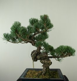 Bonsai Japanese White Pine, Pinus pentaphylla, no. 7812
