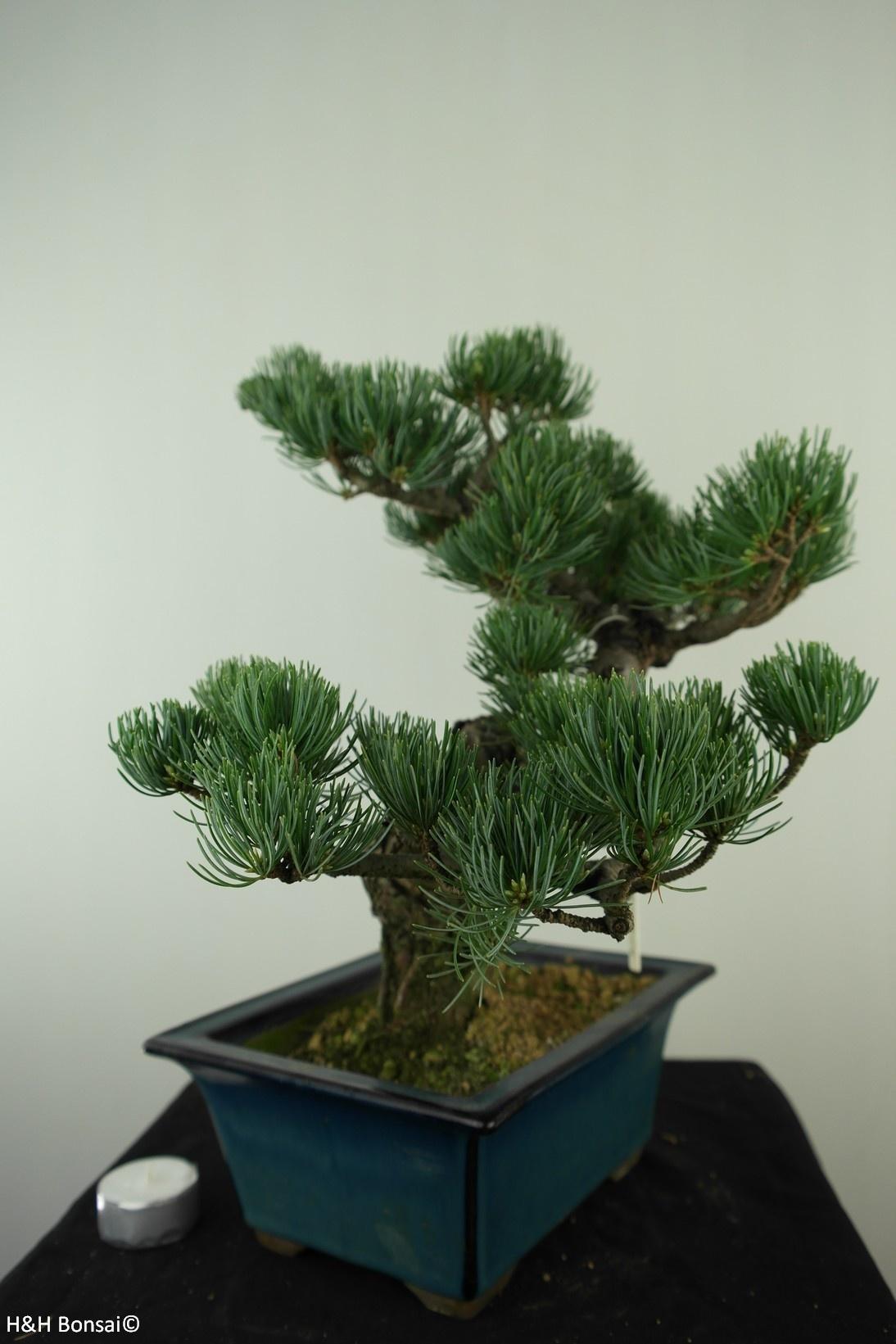 Bonsai Pino bianco, Pinus pentaphylla, no. 7812