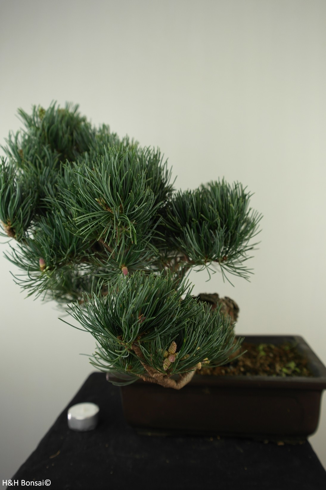 Bonsai Japanese White Pine, Pinus pentaphylla, no. 7813