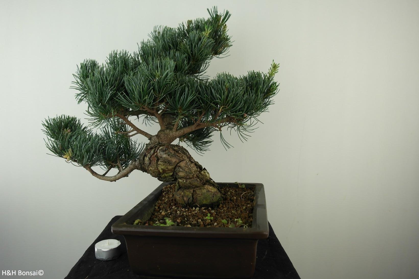 Bonsai Pino bianco, Pinus pentaphylla, no. 7813