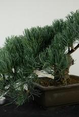 Bonsai Pino bianco, Pinus pentaphylla, no. 7814