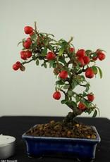 Bonsai Shohin Cotognastro, Cotoneaster, no. 7786