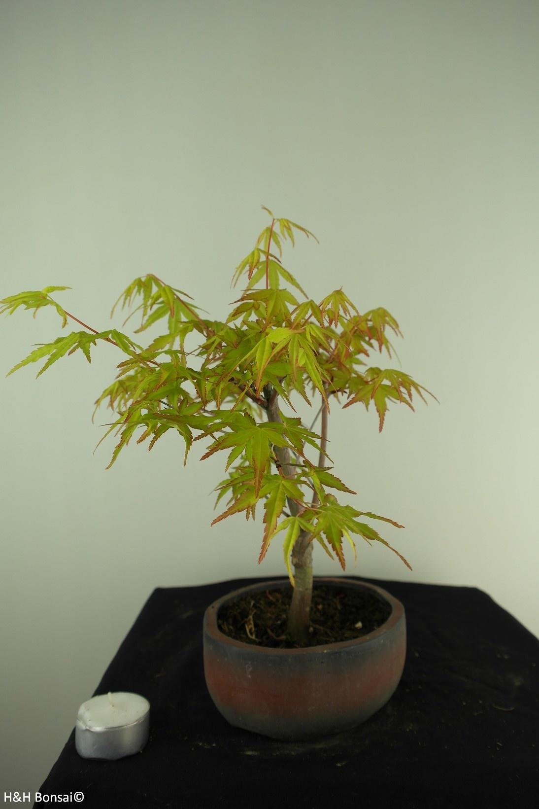 Bonsai Japanese maple Orange Dream, no. 7382
