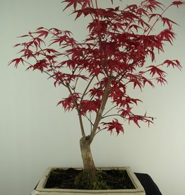 Bonsai Japanese Red Maple, Acer palmatum deshojo, no. 7423