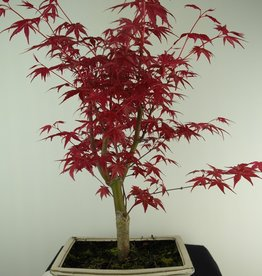 Bonsai Japanese Red Maple, Acer palmatum deshojo, no. 7426