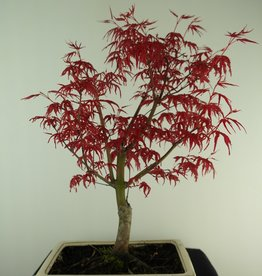 Bonsai Japanese Red Maple, Acer palmatum deshojo, no. 7427