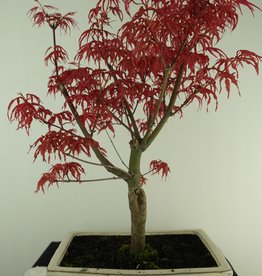 Bonsai Japanese Red Maple, Acer palmatum deshojo, no. 7458