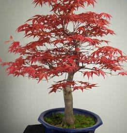 Bonsai Acero palmato deshojo, Acer palmatum deshojo, no. 6816