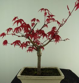 Bonsai Japanese Red Maple, Acer palmatum deshojo, no. 7465