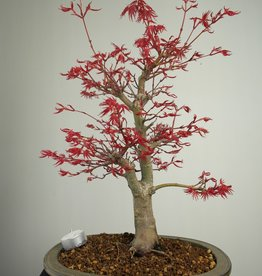 Bonsai Japanese Red Maple, Acer Palmatum deshojo, no. 7506