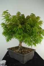 Bonsai Japanese maple Kiyohime, Acer palmatum Kiyohime, no. 7532