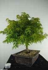 Bonsai Japanese maple Kiyohime, Acer palmatum Kiyohime, no. 7534