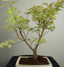 Bonsai Acero palmato, Acer palmatum Butterfly, no. 7547