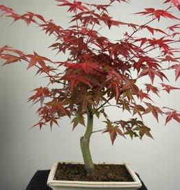 Bonsai Japanese Red Maple, Acer palmatum deshojo, no. 7549
