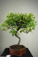 Bonsai Prunus mahaleb, Mahaleb cherry, no. 7667