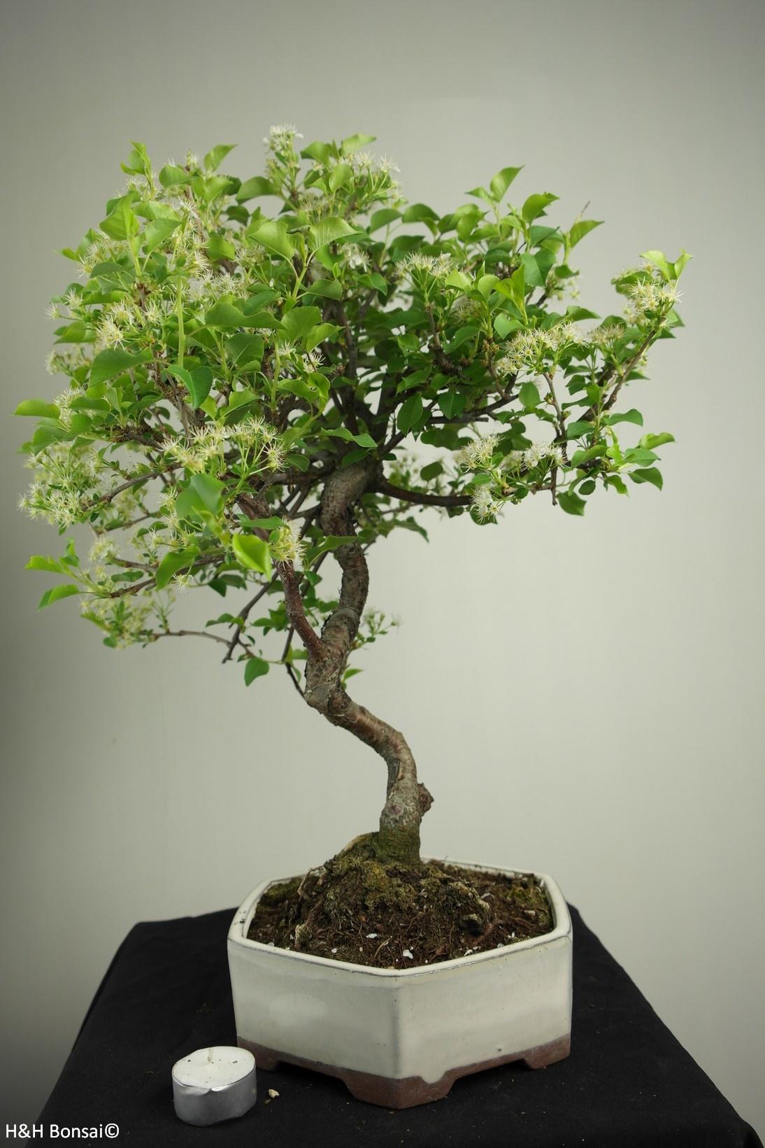Bonsai Prunus mahaleb, Mahaleb cherry, no. 7669