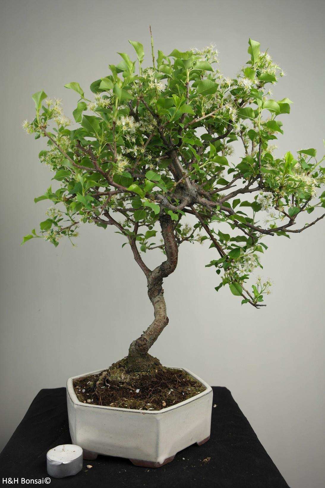 Bonsai Ciliegio canino, Prunus mahaleb, no. 7669