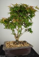 Bonsai Acero palmato Kotohime, Acer palmatum Kotohime, no. 7694