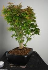 Bonsai Japanese Maple Kotohime, Acer palmatum Kotohime, no. 7695