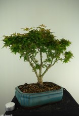 Bonsai Acero palmato Kotohime, Acer palmatum Kotohime, no. 7696