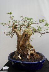 Bonsai Bougainvillea glabra, no. 7816