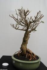 BonsaiBougainvillea glabra, no. 7819