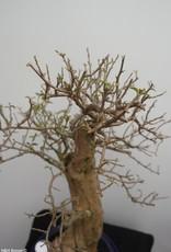 BonsaiBougainvillea glabra, no. 7823