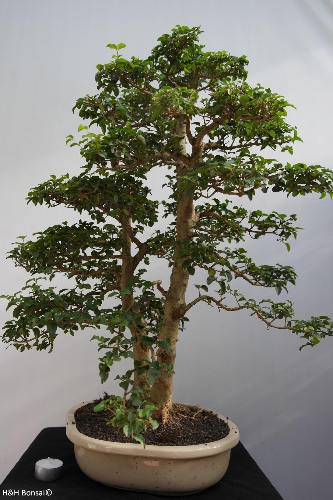 Bonsai Ligustro, Ligustrumsinense, no. 7841