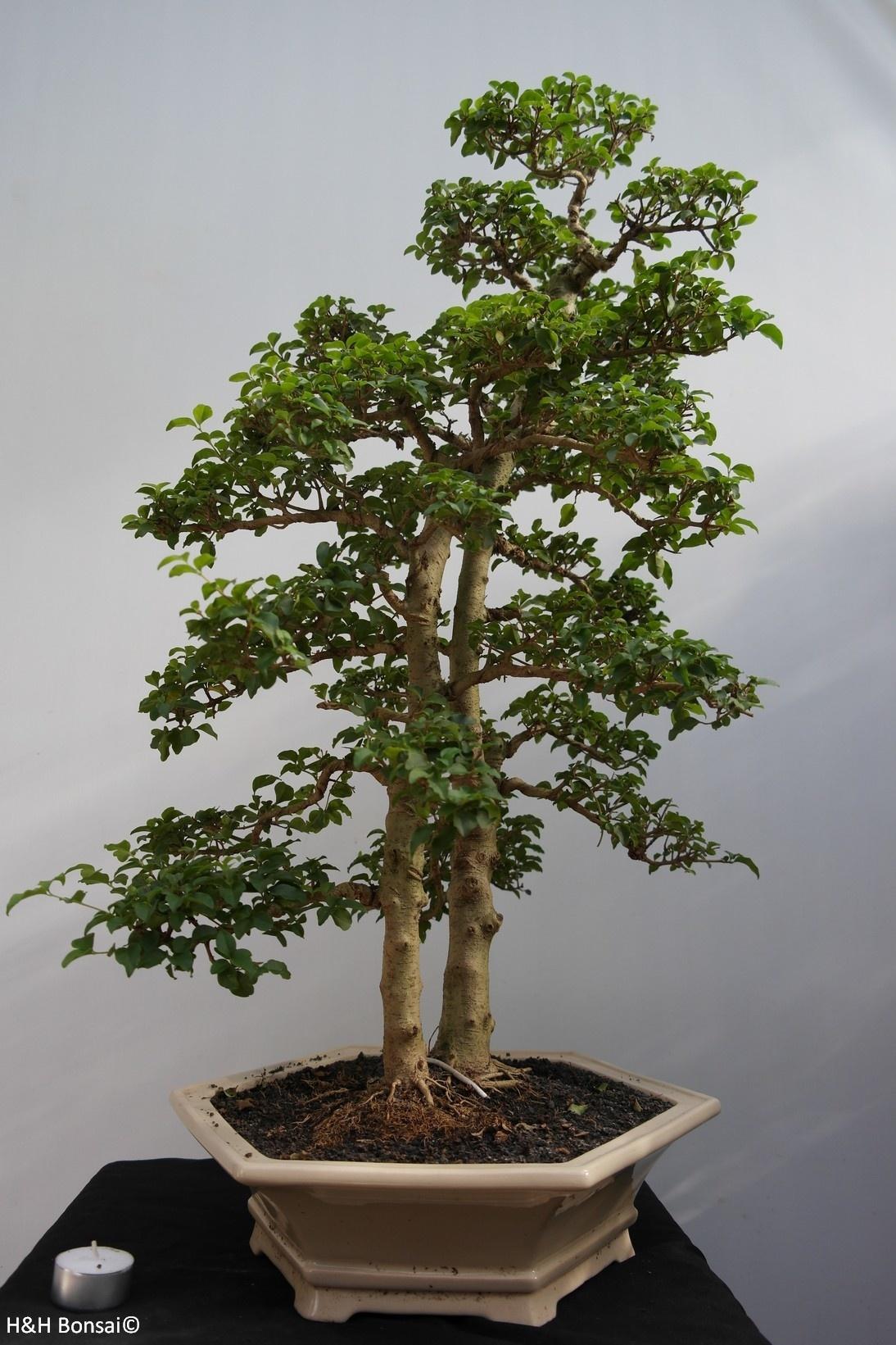Bonsai Ligustro, Ligustrumsinense, no. 7842