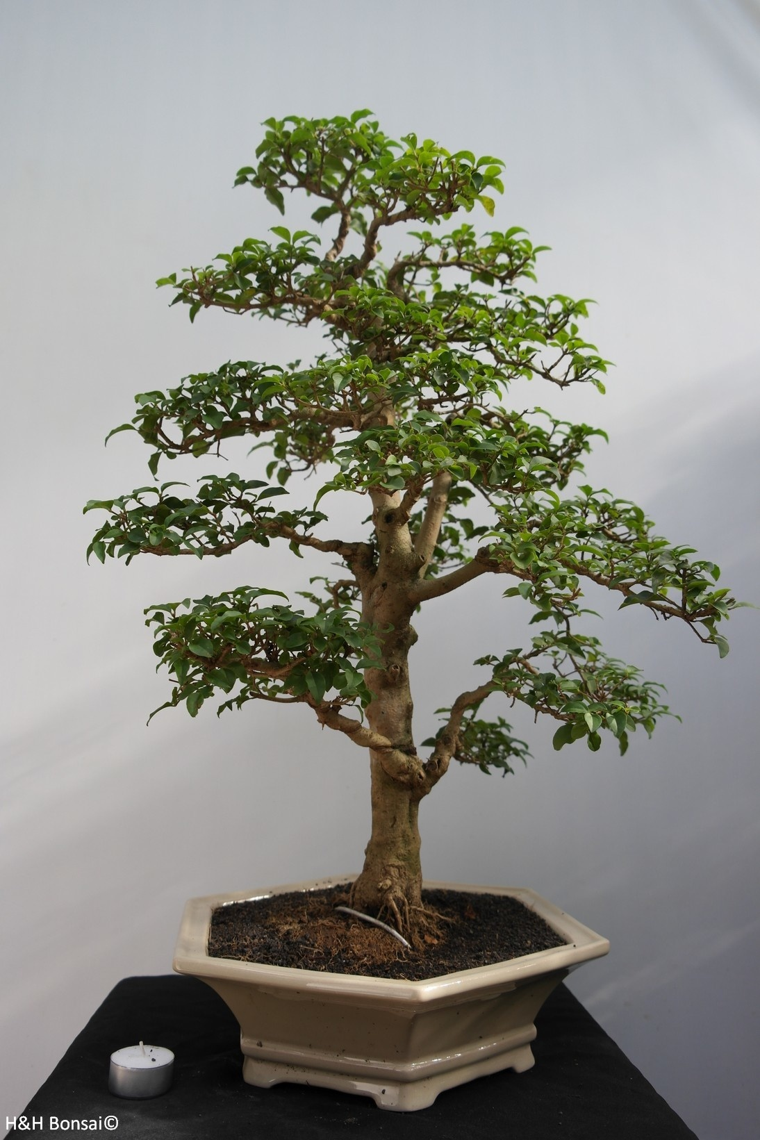Bonsai Ligustro, Ligustrum sinense, no. 7843